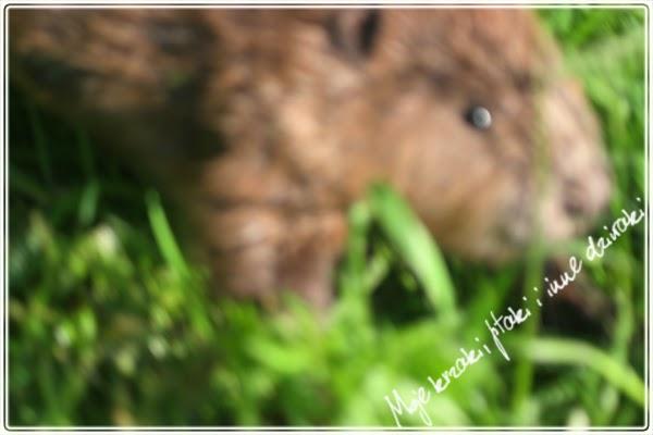 życie bobrów, european beaver, castor fiber
