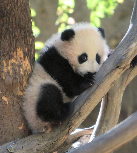 Cute Panda Designs Cute Baby Panda Bears