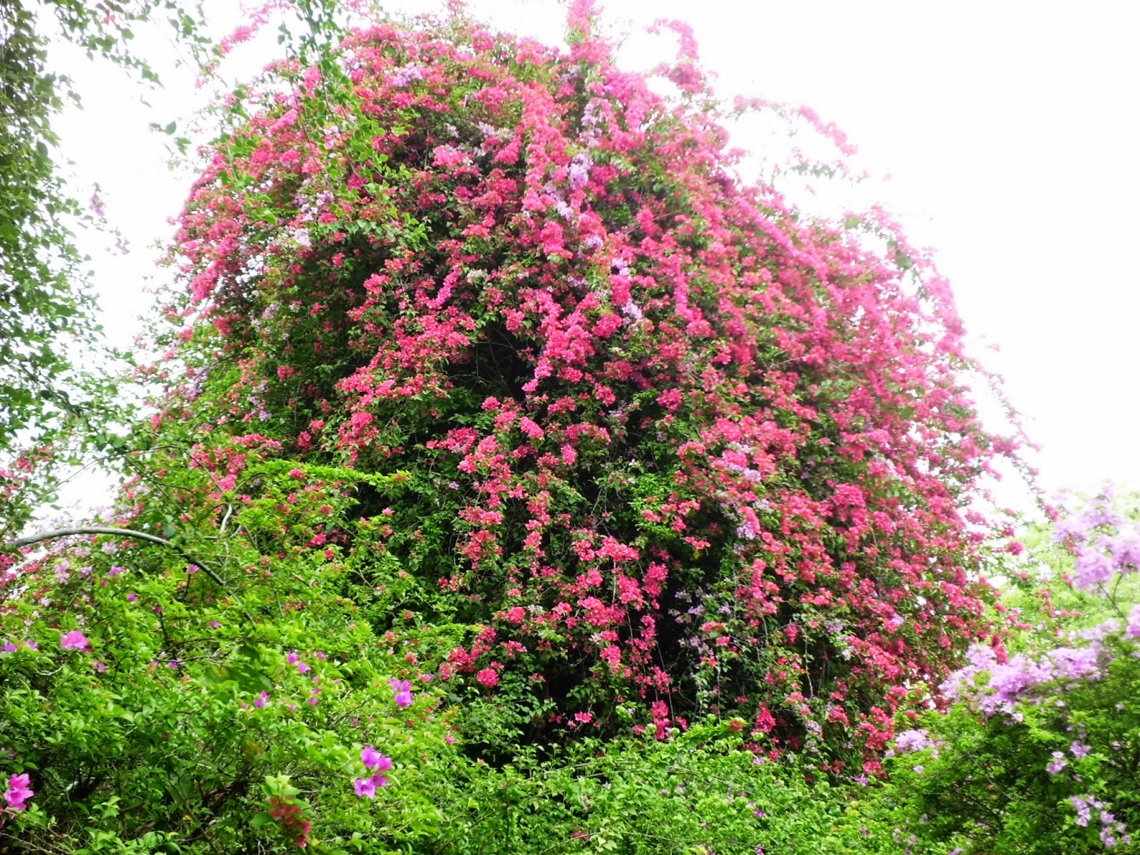 Flowering bougainvillea.