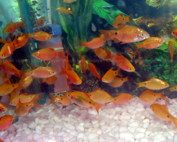 Rosy Barb Fish Care