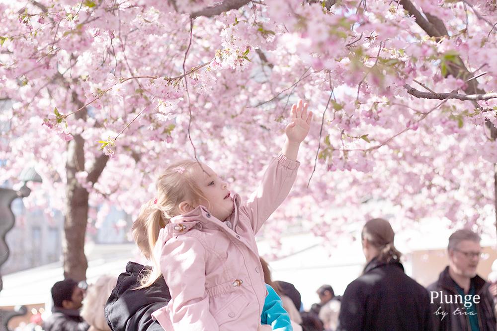 Körsbärsträd kungsträdgården