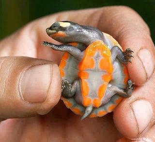 5 Spesies Kura-kura Terunik Yang Pernah Ada