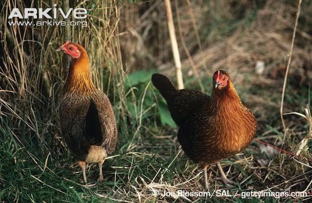 Ayam+Hutan+3 rappets.com