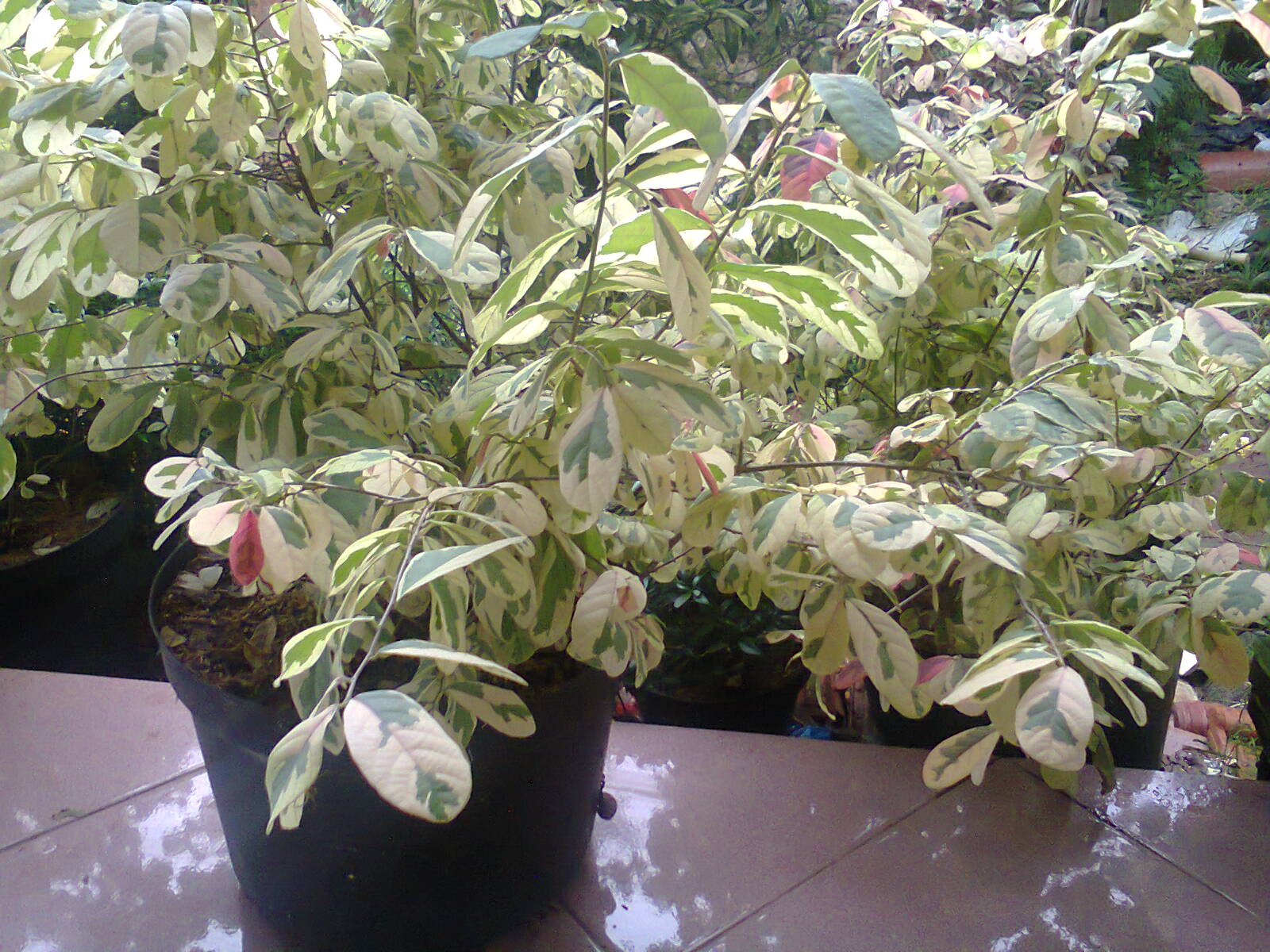 tanaman berdaun indah