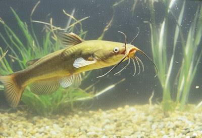 Laghetto di basiglio i pesci del laghetto di basiglio for Pesci per laghetto