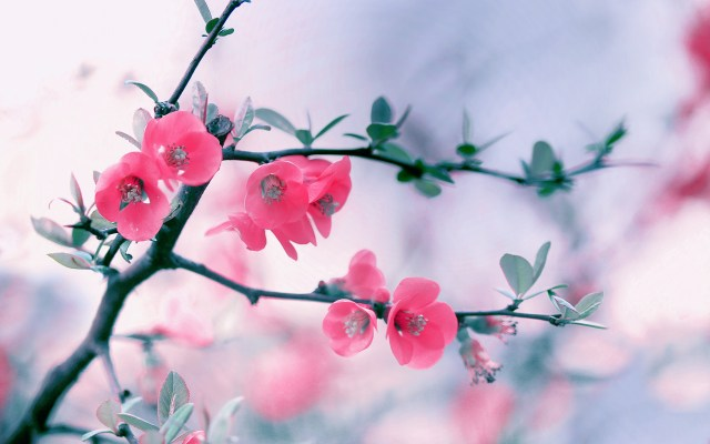 Windows 8 Pink Flowers Wallpapers