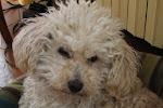 Mon chien Pastelle décédé en 2015