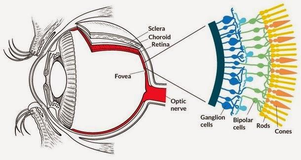 Cientistas criam tratamento que pode devolver visão aos cegos