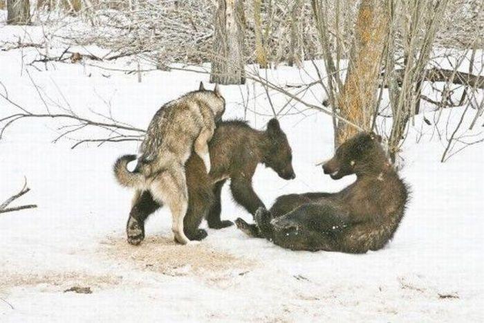 http://4.bp.blogspot.com/-9tZCFO1xyv0/UQwFbL6KwjI/AAAAAAAAMBI/vM-t4fxyecI/s1600/wolf+mating+with+bear+cub.jpg