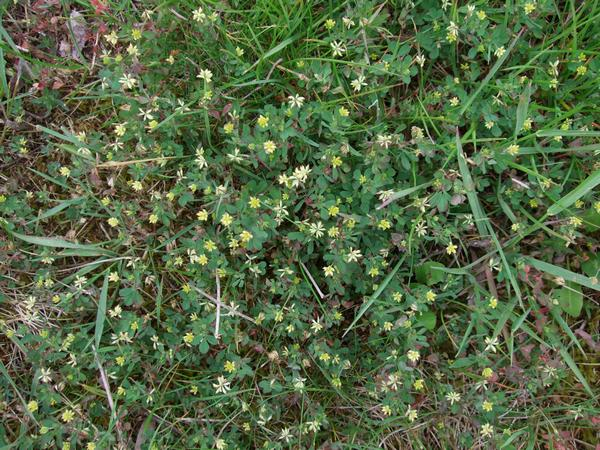 how to kill clover in lawn nz