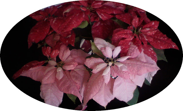 Poinsettias photo by theLibraryLander