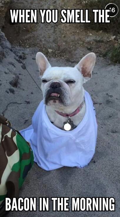 when you smell the bacon in the morning #bacon #morning #bulldog #funny #smell #dog