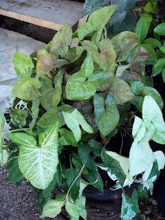 Otros nombres nephthytis flecha images frompo for 5 nombres de plantas ornamentales