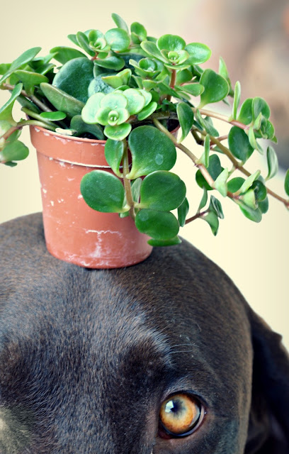 xenobiophilia, sukkulenten, pflanzen, propagation, vermehren, plants, succulents, xeno, dog, hund, lifestyleblog, blogger