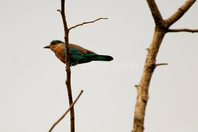 Indian Roller Bird