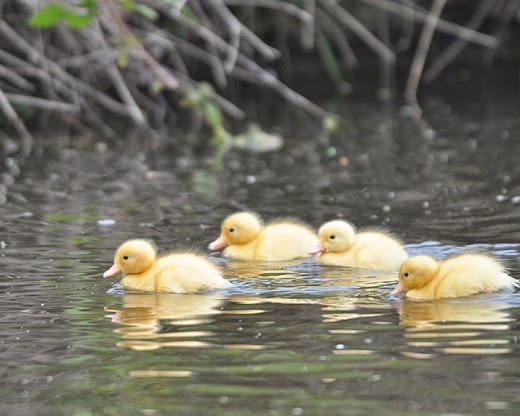 yellow mallard ducklings