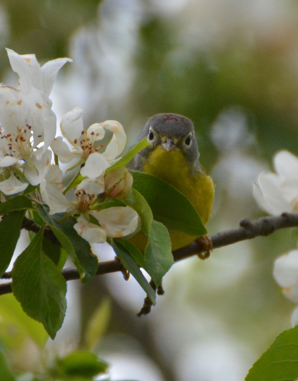 Flower Hill Farm Crabapples Abloom Enticing Wildlife