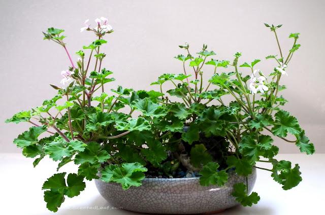 Pelargonium xFragrans: Tutti-Fruity  cultivar