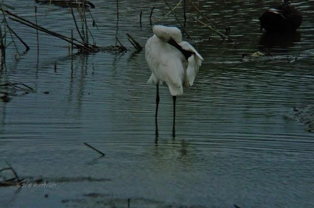 白琵鷺 Platalea leucorodia,關渡自然公園