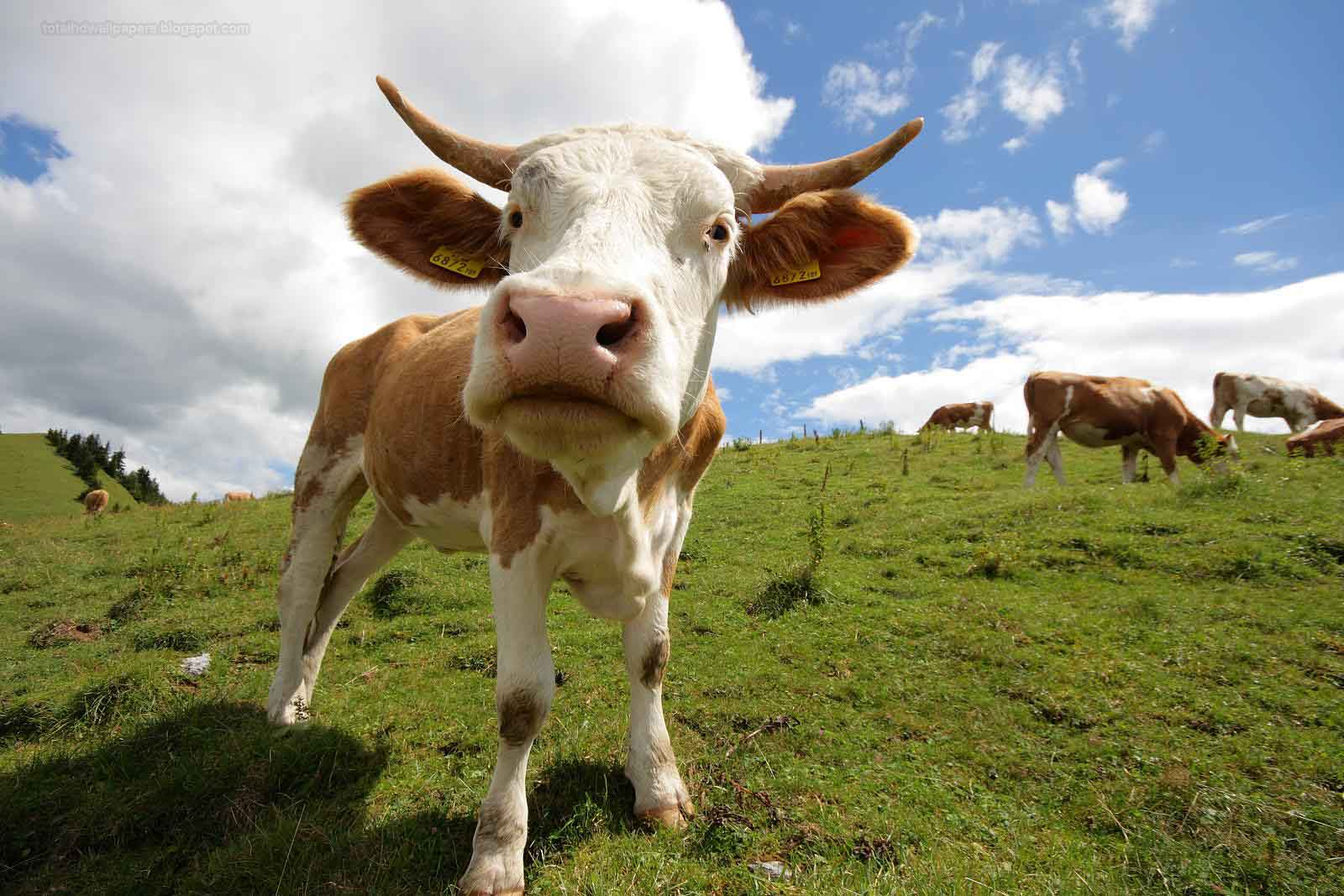 Free All Wallpaper Beautifull Cow Wallpapers Hd