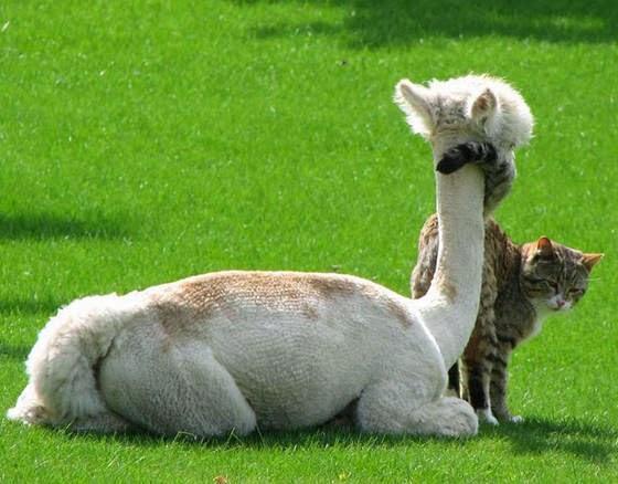 foto persahabatan seekor alpaca dan sepasang kucing 05