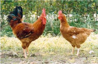 Giống gà Sasso của Pháp.