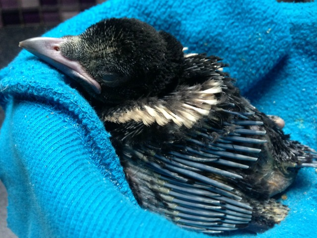 hand reared magpie chick