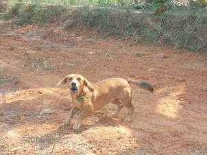 A  rare dachshund mix breed dog in Barkur village.