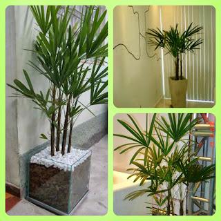 Plantas para dentro de casa -   Palmeira-ráfis
