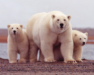 Wildlife-Polar-Bear-Wallpapers