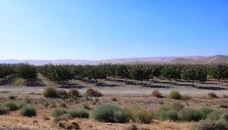 Almond plantation