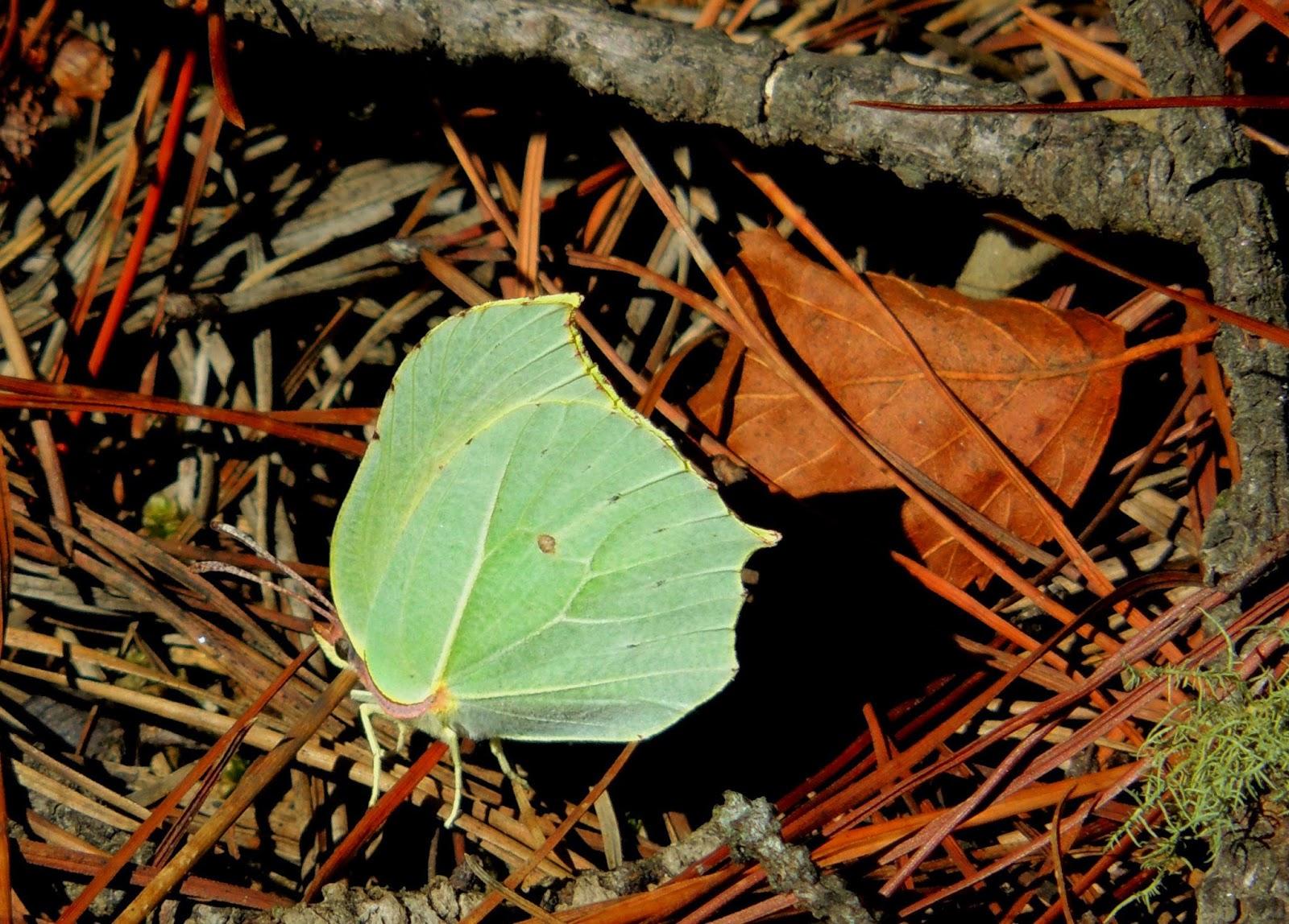 Gonepteryx rhamni macho