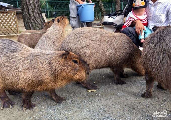 Kapibara du zoo de Umi no naka-michi, Fukuoka