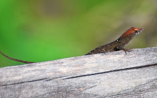 Brown Anole (Anolis sagrei)