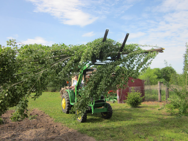 how to cut down a large poplar tree