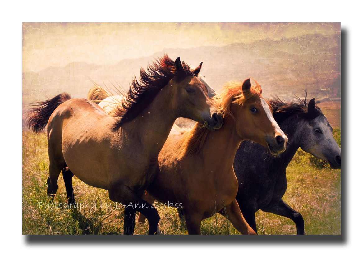 Beautiful Black Wild Horses Running Wallpaper