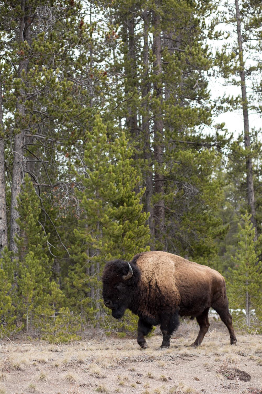 Yellowstone Bison Close Up