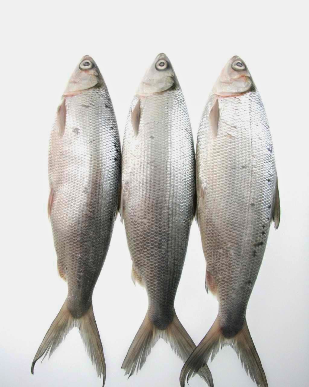 bangus or milkfish cultivation systems in These river systems generally the fishing industry also produces shrimp and bangus this is recommended for diversified farming such as the cultivation of.