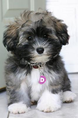 Mascota Little Puppies