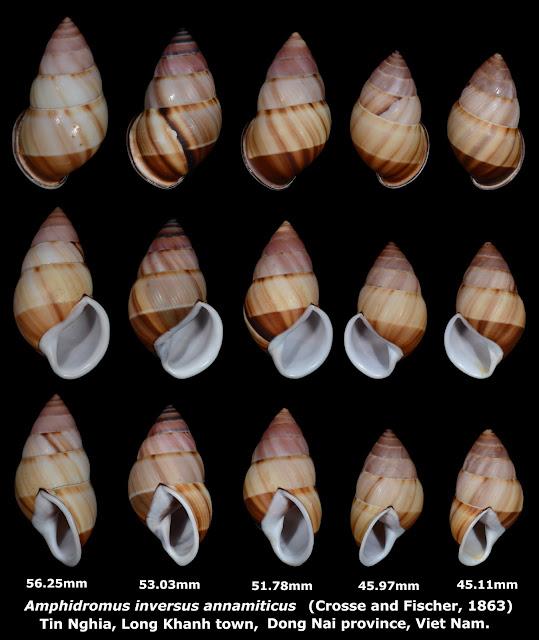 Amphidromus inversus annamiticus 45.11 to 56.25mm (5x)