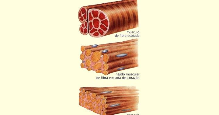 Aprendendo mais sobre o corpo humano: Tipos de músculos