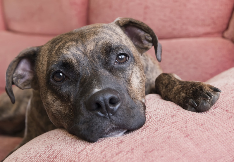 A brindled pit bull on a red/pink couch