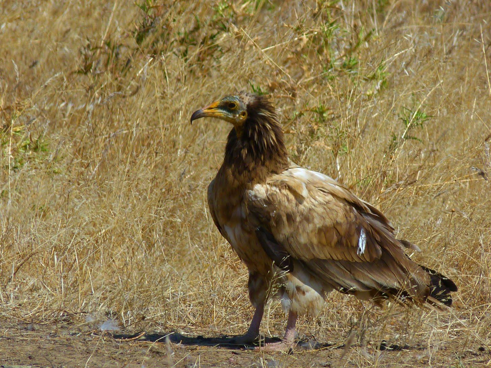 Vultures eating dead animal