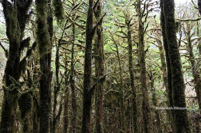 şimşir ormanları