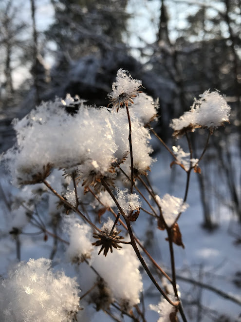 Asters & Snow