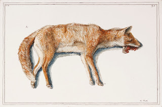 Road kill fox animal dead