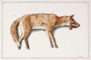 Road kill fox animal dead