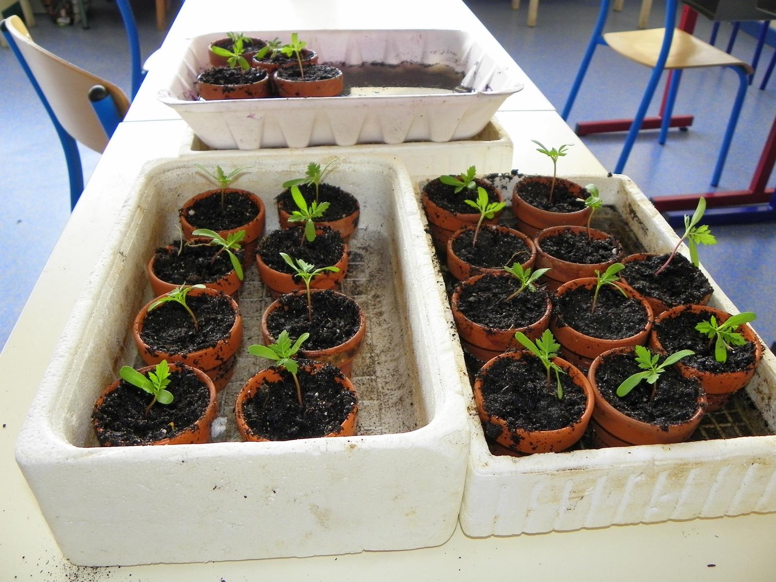 Les petits donzelot semis d 39 oeillets d 39 inde suite - Semis oeillet d inde ...