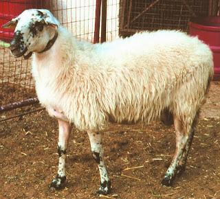 Πρόβατα: Ελληνικές φυλές