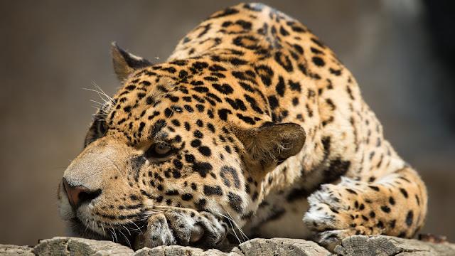 Jaguar Descansando